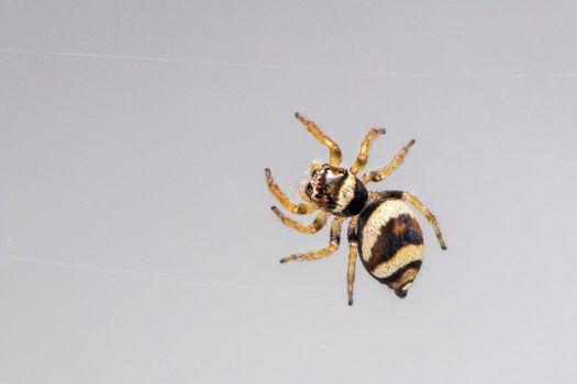 Image of bleeker's jumping spider (Euryattus bleekeri) on Milky white background. Insect. Animal