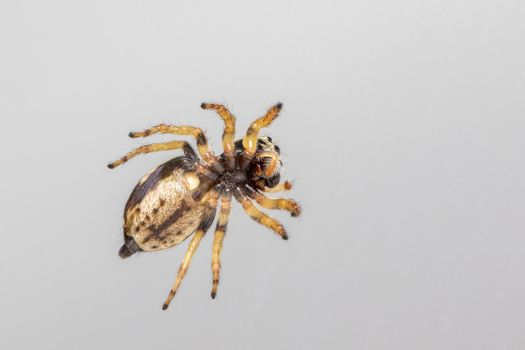Image of bleeker's jumping spider (Euryattus bleekeri) on Milky white background. Image of bleeker's jumping spider (Euryattus bleekeri) on white background. View from the bottom. Insect. Animal Insect. Animal