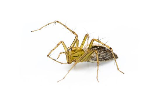 Image of lynx spider (hamadruas sp.) on white background. Insect. Animal