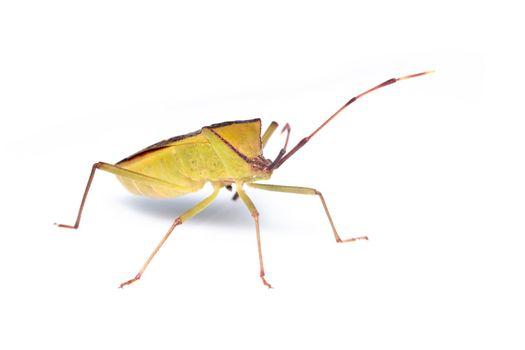 Image of green legume pod bug(Hemiptera) on white background. Insect. Animal