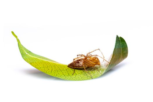 Image of lynx spider (hamadruas sp.) on the green leaf on white background. Insect. Animal