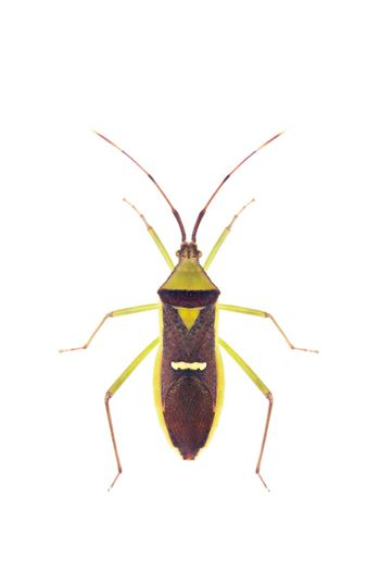 Image of green legume pod bug(Hemiptera) on white background. From top view. Insect. Animal