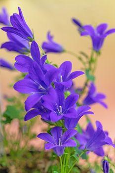 Group of blooming blue bellflower.