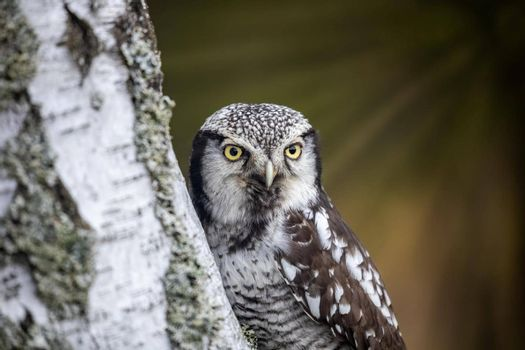 Portrait of Northern hawk owl on a birch trunk closeup.