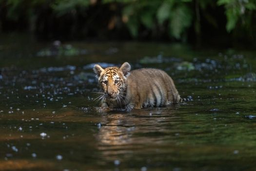 Bengal tiger cub is walking in the river