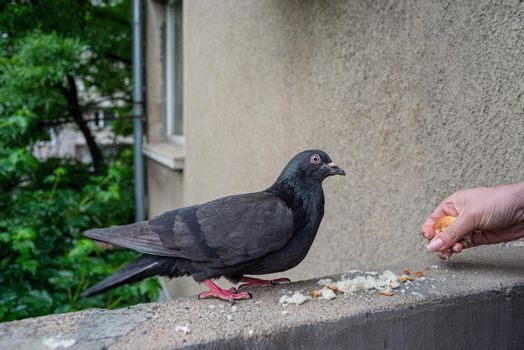 Female Hand is Dropping a Little Bread For A Pigeon Meal