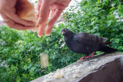 Female Hands Are Feeding Pigeon On Balcony