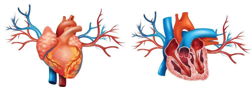 Interior and Anterior Anatomy of the heart