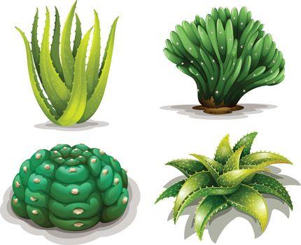 Aloe vera plants and cacti