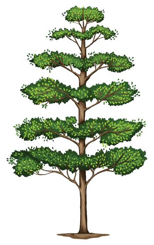 A Terminalia ivorensis tree