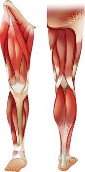 Leg muscle