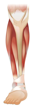 Lower muscle