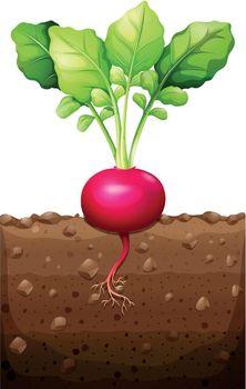 Red radish with roots underground