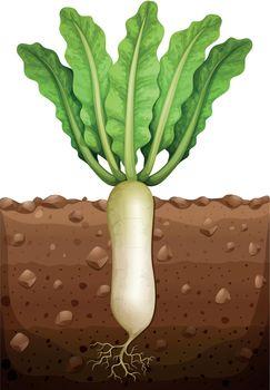 Radish plant under the ground