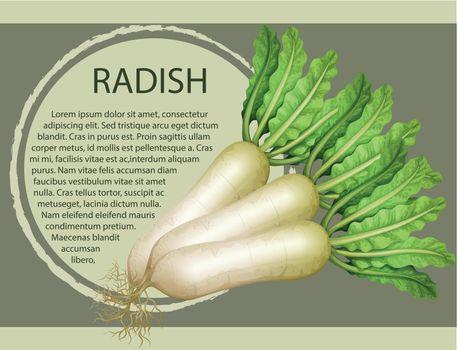 Fresh radish with text design