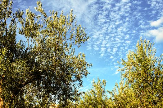 Olive trees under blue sky and rural landscape in Chelva, Valencia