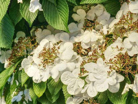 Blooming Philadelphus flowers in garden. Sweet smell