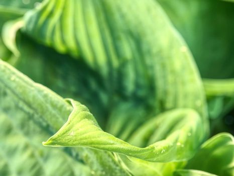 Hostas are herbaceous perennial plants growing from rhizomes or stolons