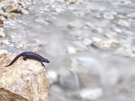 Black salamander -  Amphibian lying on the stone