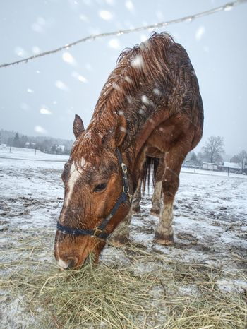Brown horse with  long winter mane flutters
