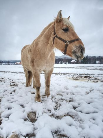 White horse with long mane grazzing in winter snowy meadow