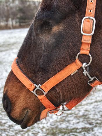 Horse with  Moon Blindness lost eye