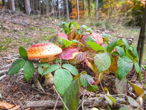 Mushrooms grow on a leaves and moss-covered stump
