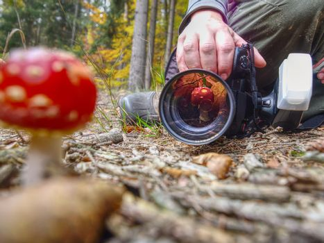 Photographer take picture of mushroom fly agaric red in leaves