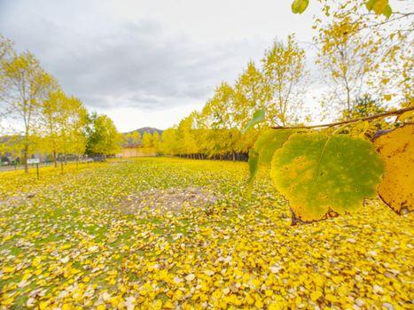 Poplar alley at horse paddock, fallen yellow green leaves