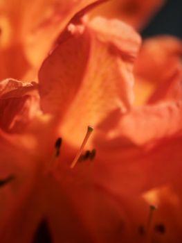 red azalea flowers in park. Popular houseplants, favorite perennial
