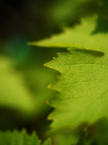 Close up of branch of unripe grape. Very young and unripe wine grapes