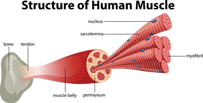 A Structure of Human Muscle