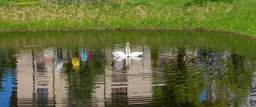 In the park on the city pond, a pair of floating white swans