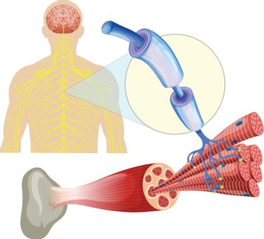 Human healthy muscle nerves
