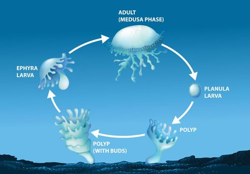 Diagram showing life cycle of jellyfish illustration