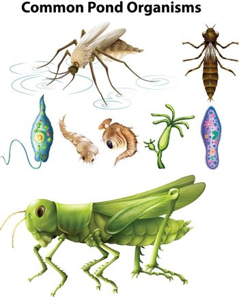 Different types of common pond organisms