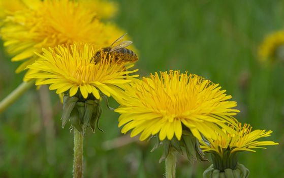 Bee on a yellow dandelion flower on a blurred background with bokeh elements. Stock photography.