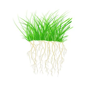 Green grass with roots isolated on white background. Tuft shape of grass.