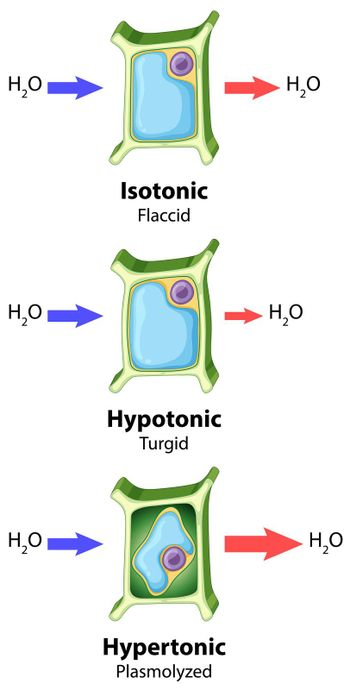 Diagram showing plant cell osmosis concept illustration