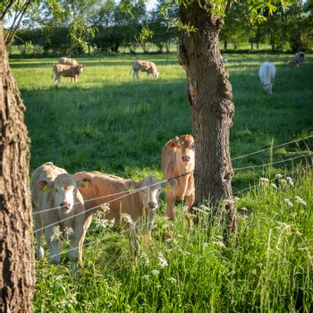 calves and cows in meadow near trees in dutch area of twente between enschede and oldenzaal