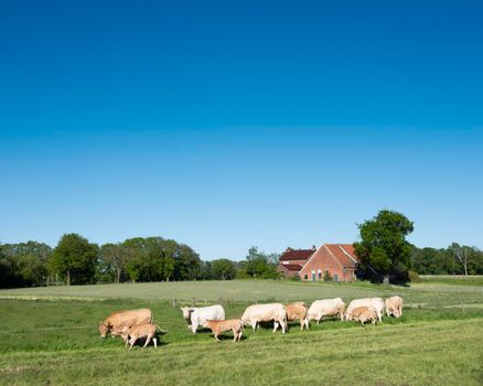 blonde d'aquitaine cows in rural landscape of twente near enschede and oldenzaal in holland
