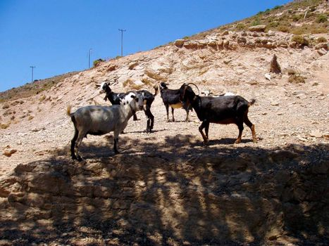 a goat or domestic goat, a farm animal with horns
