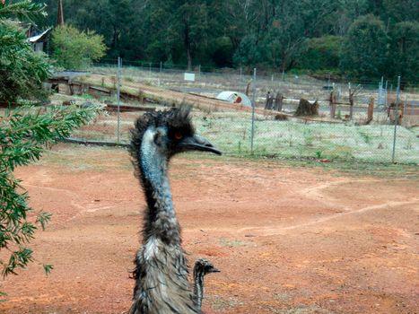 an ostrich, a flightless but fast running bird on land