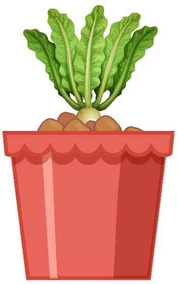 Radish with leaves in red pot isolated on white background