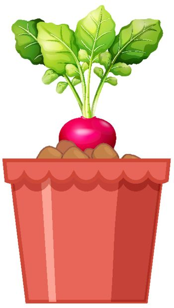 Fresh red radish with leaves in red pot isolated on white background