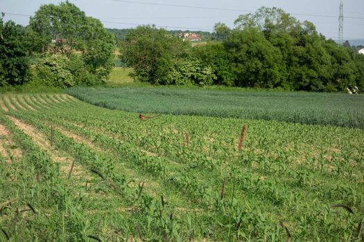 field of young corn or maize, green plants in the soil