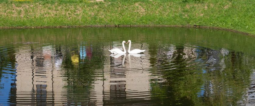 On the city pond, floating swans arched their necks in the shape of hearts