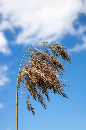 A reed branch against a background of blue sky and white clouds.Pampas grass with light blue sky and clouds