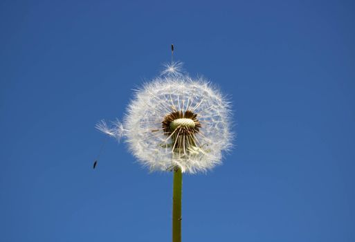 White fluffy dandelion with seeds, against a clear blue sky