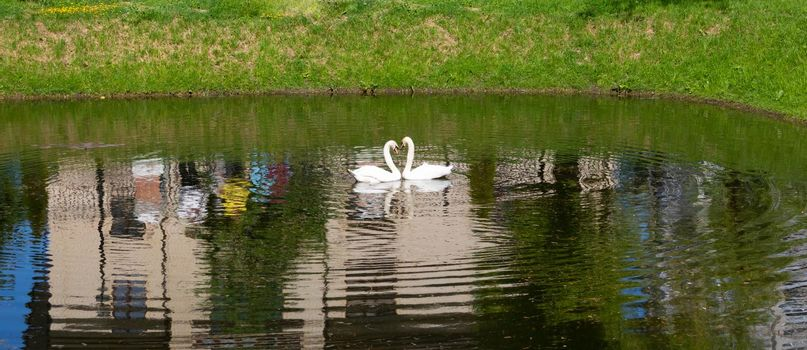 In the park on the city pond, floating swans arched their necks in the shape of hearts